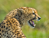 istock teeth of The cheetah (Acinonyx jubatus) is a large-sized feline (family Felidae, subfamily Felinae) inhabiting most of Africa and parts of the Middle East. It is the only extant member of the genus Acinonyx. The cheetah can run faster than any other land 1225876710
