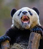 teeth of the Giant Panda; Ailuropoda melanoleuca; Wolong Nature Preserve; China; Family Ursidae