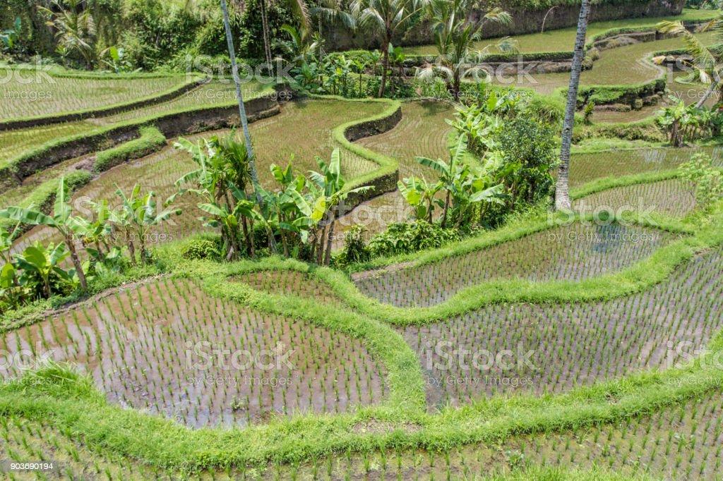 Tegalalang rice terraces near Ubud, Bali stock photo