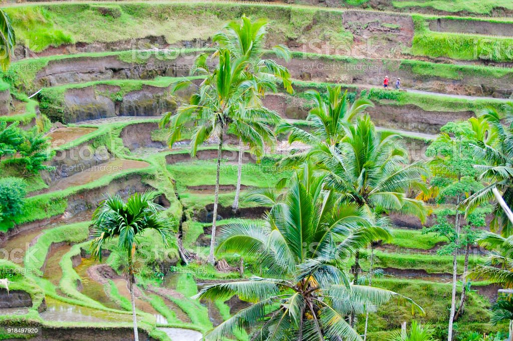 Tegalalang Rice Terraces stock photo