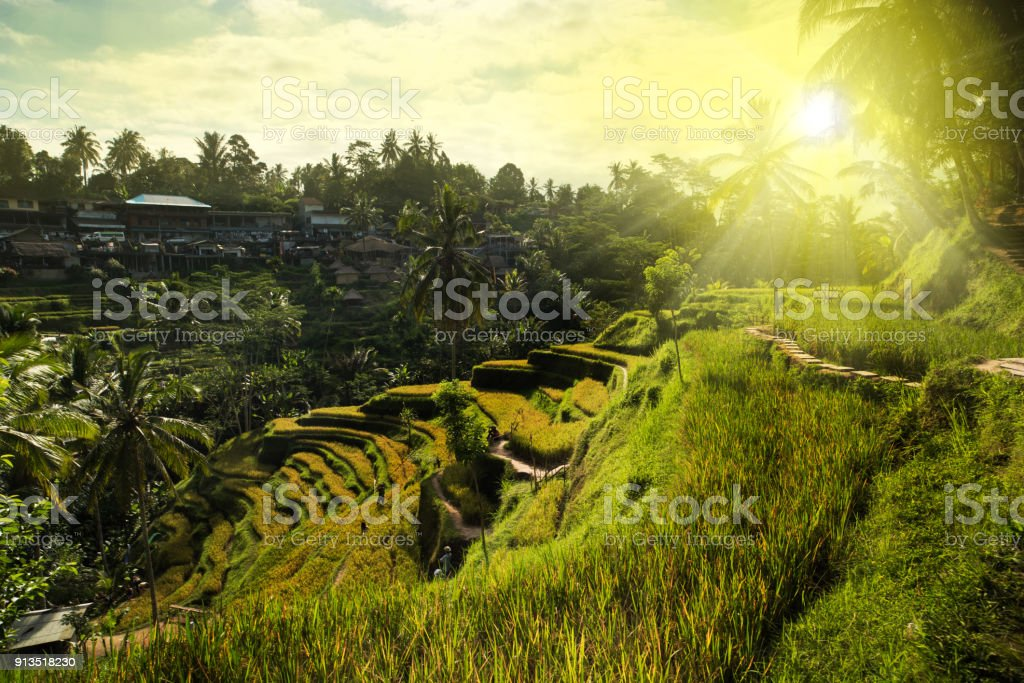 Tegallalang rice fields stock photo