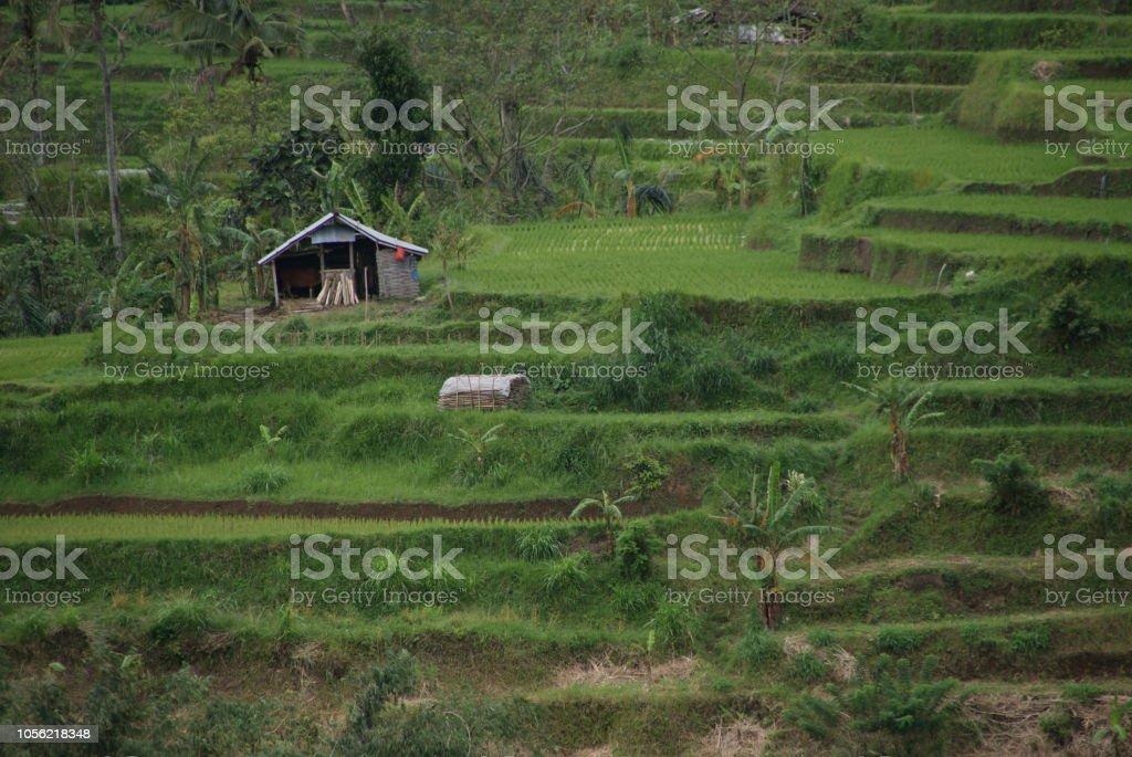 Terraza De Arroz De Tegallalang Foto De Stock Y Más Banco De