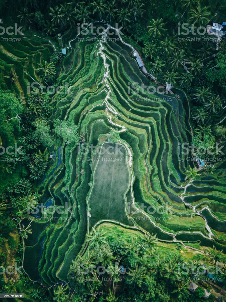 Tegallalang rice terrace texture from above stock photo