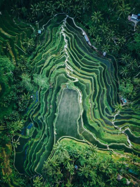 textura de terraço de arroz tegallalang de cima - indonésia - fotografias e filmes do acervo