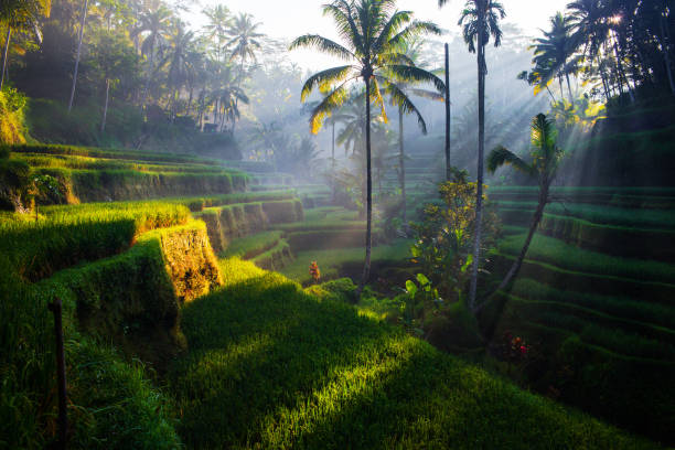 Tegallalang rice terraces at sunrise picture id869865932?b=1&k=6&m=869865932&s=612x612&w=0&h=2nydlqvip8p6rjzw0dxuqjqysvrnnewxbuhoedvgp 4=