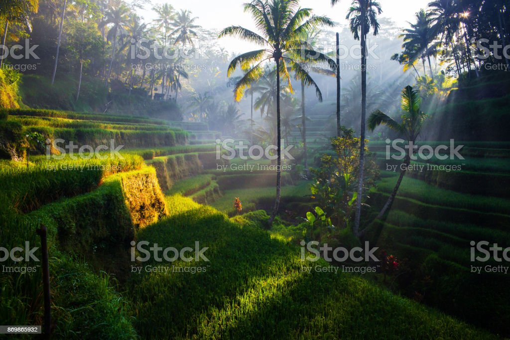 Tegallalang Rice terraces at sunrise stock photo