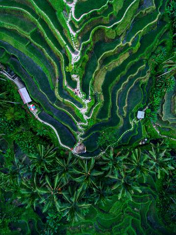 istock Tegallalang Rice terraces 937976406
