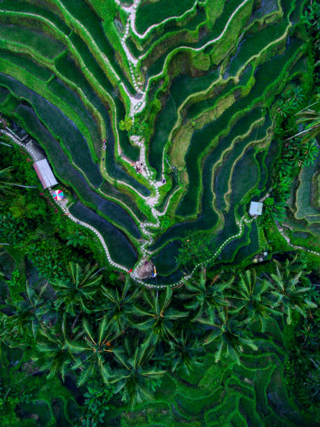 Tegallalang Rice terraces Tegallalang Rice terraces aerial view by drone indonesia stock pictures, royalty-free photos & images