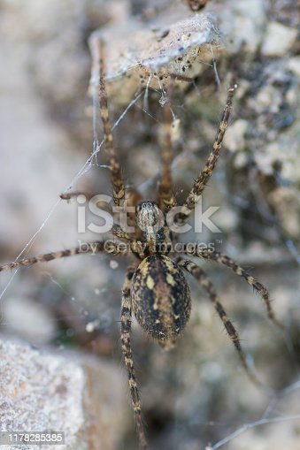 Tegenaria silvestris, spider macro shot from a forest