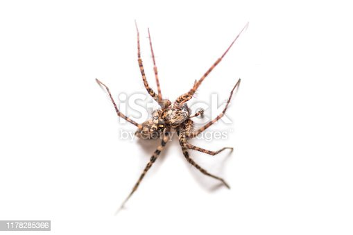 Tegenaria silvestris, spider macro shot on white background, indoor shot