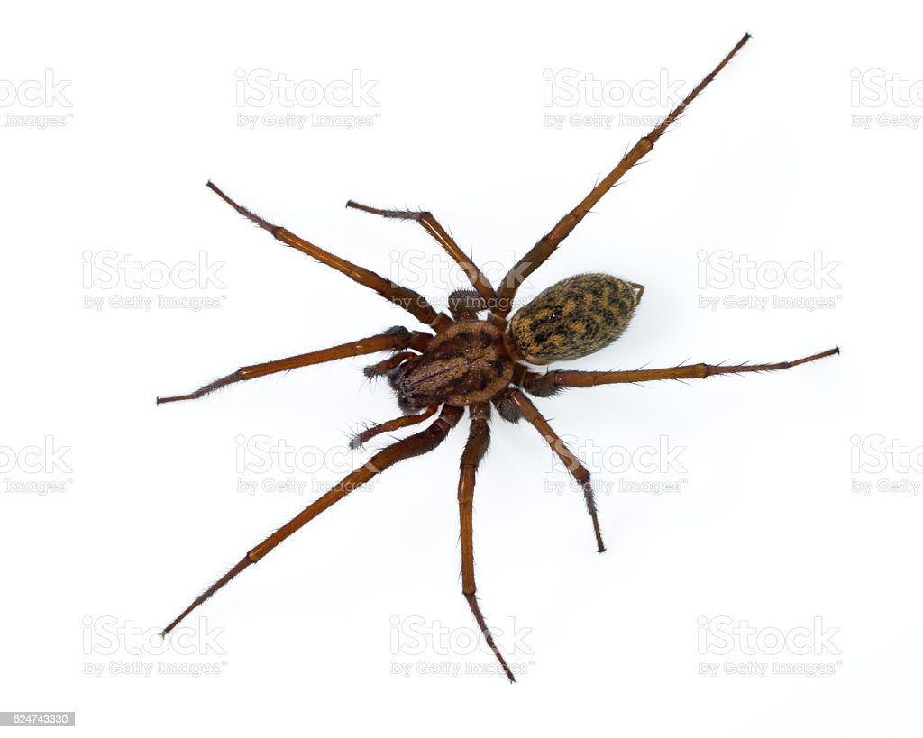 Tegenaria spider on white stock photo