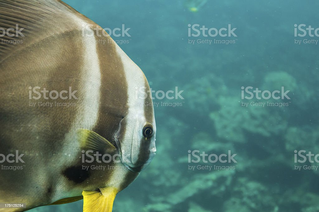 Teira batfish at Surin national park royalty-free stock photo