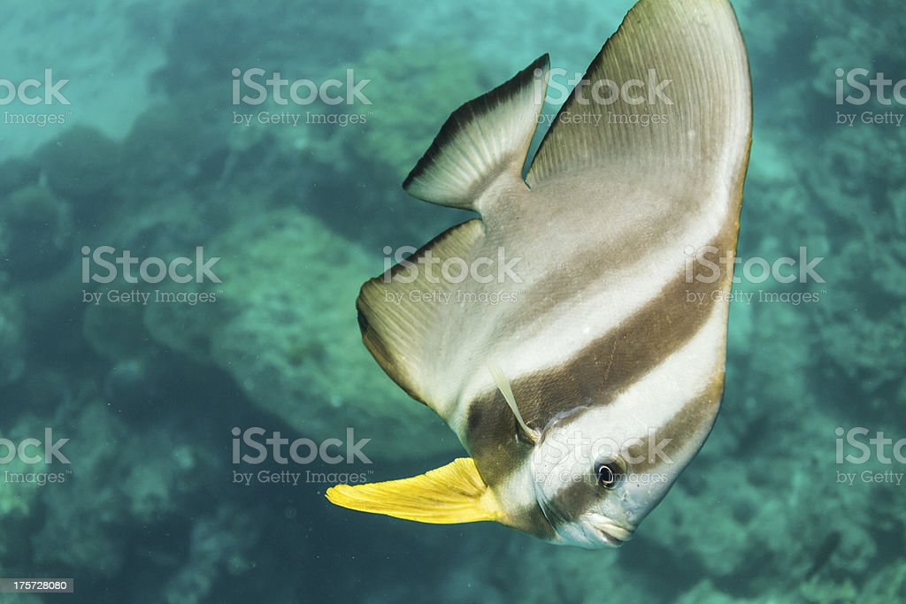 Teira batfish at Surin national park royalty-free stock photo
