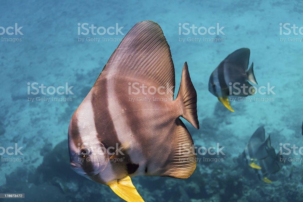 Teira batfish royalty-free stock photo