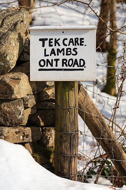 tek care lambs ont road - cumbria stock photos and pictures