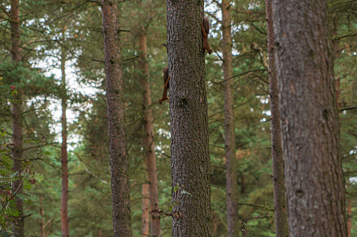 A telephoto shot of two red squirrels playing on a tree in beacon wood in penrith, Cumbria