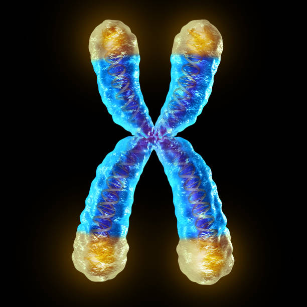 Telomere Telomere length medical concept and telomeres located on the end caps of a chromosome resulting in aging by damaging DNA or protection resulting in living longer or longevity as a 3D illustration. gene therapy stock pictures, royalty-free photos & images