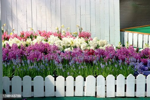 Temperate flowers by White picket fence surrounded