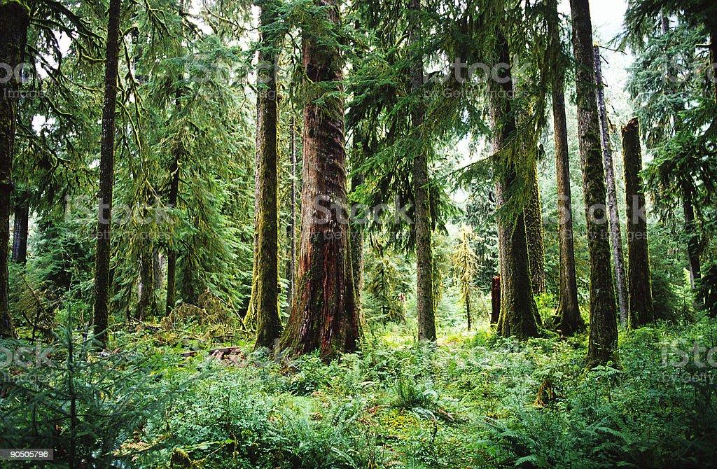 Temperate Rainforest, Olympic National Park, Washington, USA royalty-free stock photo