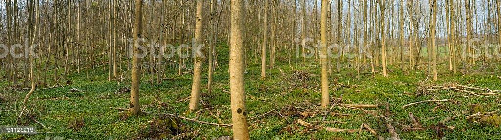 Temperate woodland panorama royalty-free stock photo