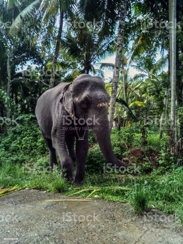 Temple Elephant in Varkala, India stock photo
