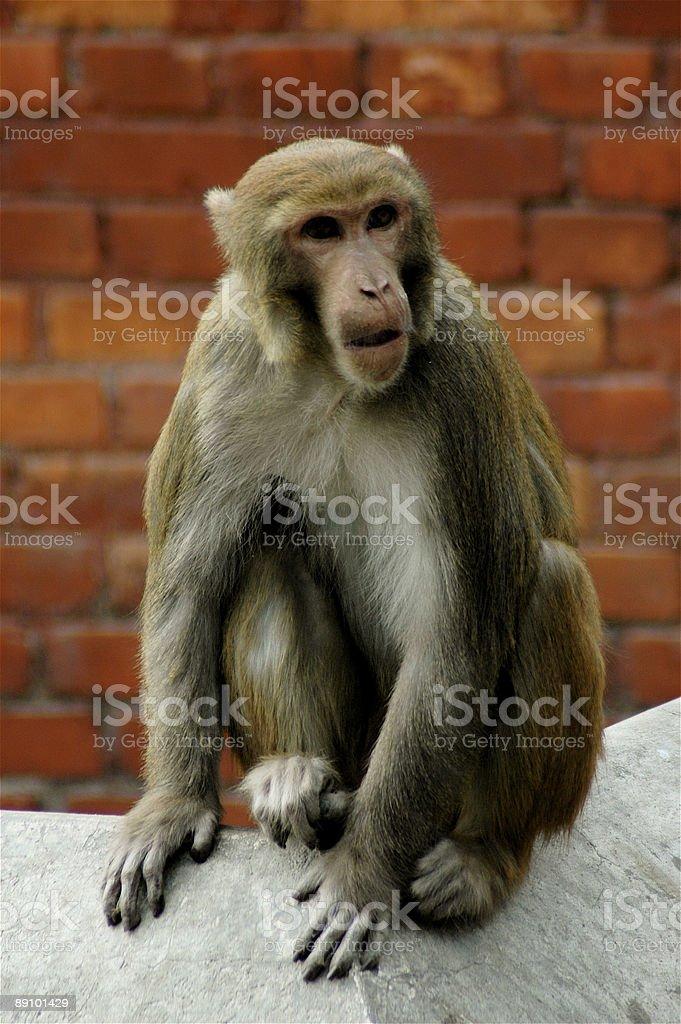 Temple Monkey royalty-free stock photo