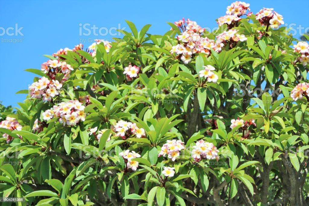 Temple tree Plumeria rubra in Sydney, New South Wales Australia stock photo