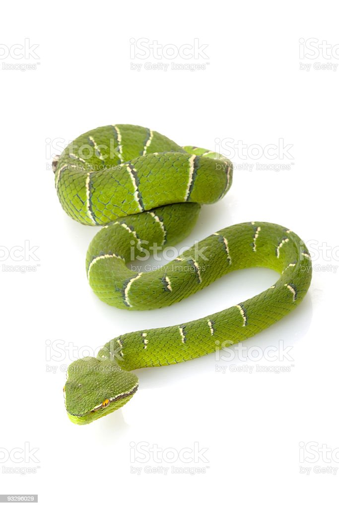 Temple viper stock photo