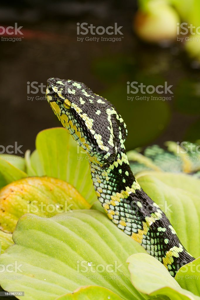 Temple Viper Rising from Rainforest Floor stock photo