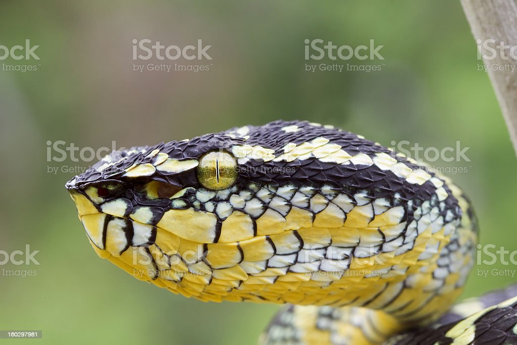 Temple Viper Snake royalty-free stock photo