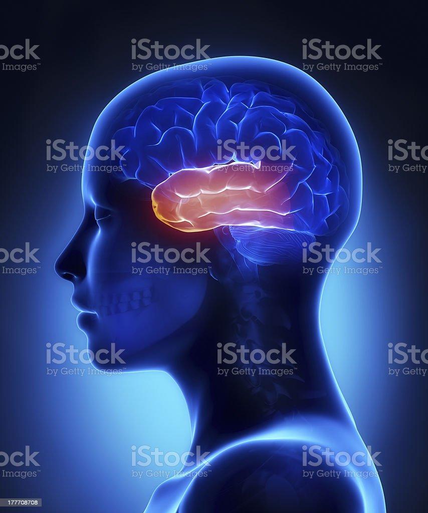 Fotografía de Lóbulo Temporalhembra Cerebro Anatomía Vista Lateral y ...