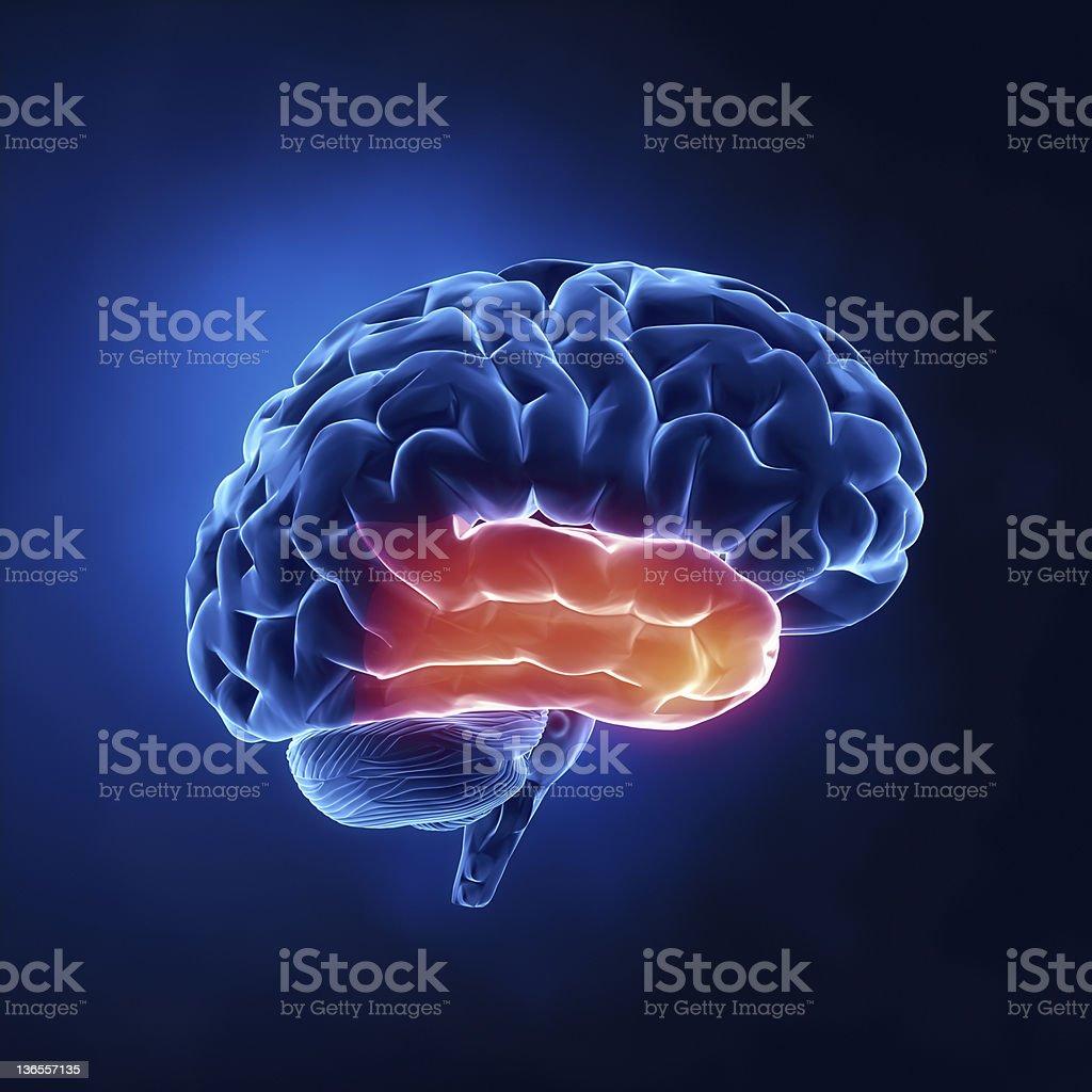 Fotografía de Lóbulo Temporal De Cerebro Humano En Vista De Rayos X ...
