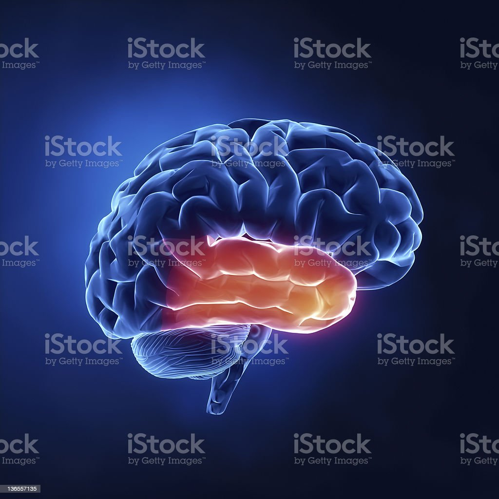 Temporal lobe - Human brain in x-ray view stock photo
