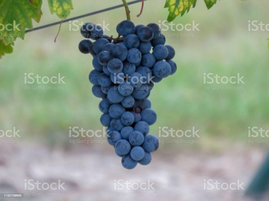 Tempranillo grapes on the vine in Texas