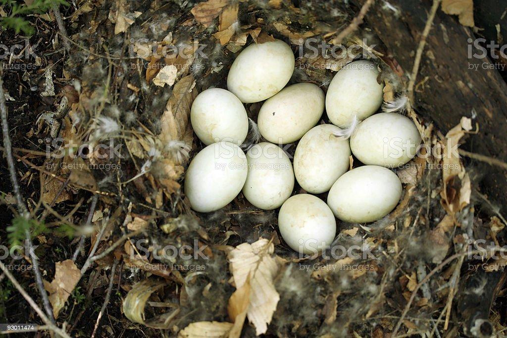 Ten eggs in a bird nest royalty-free stock photo