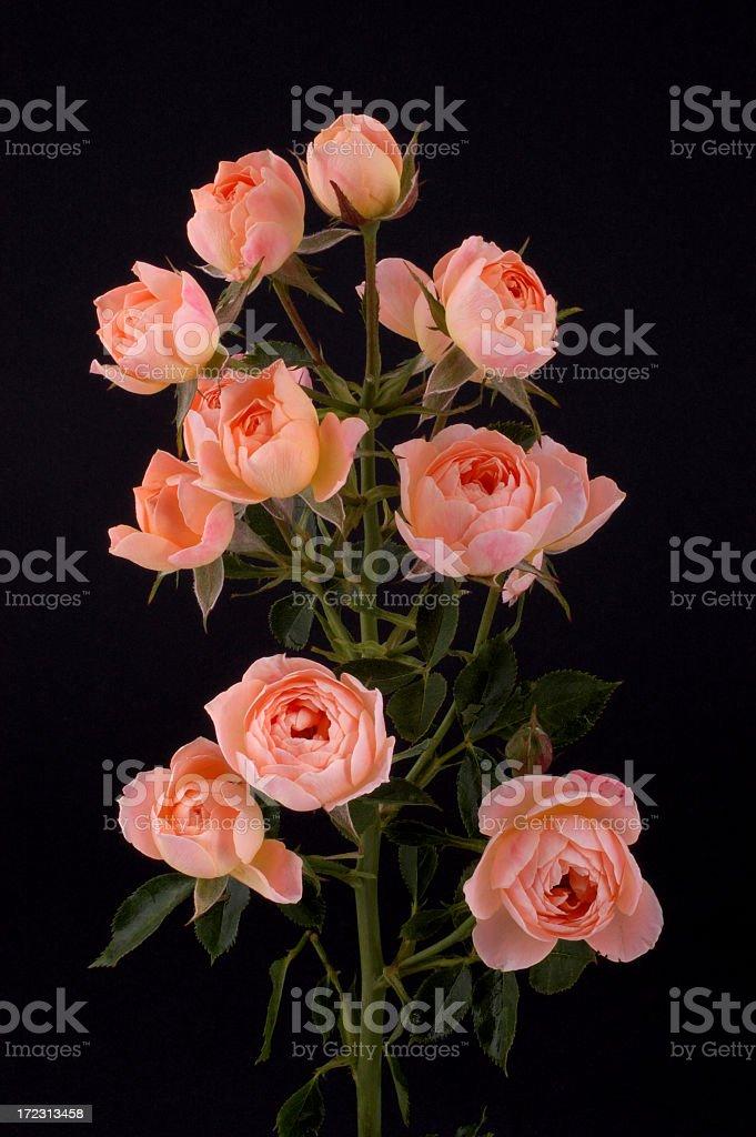 Ten roses in one stock photo