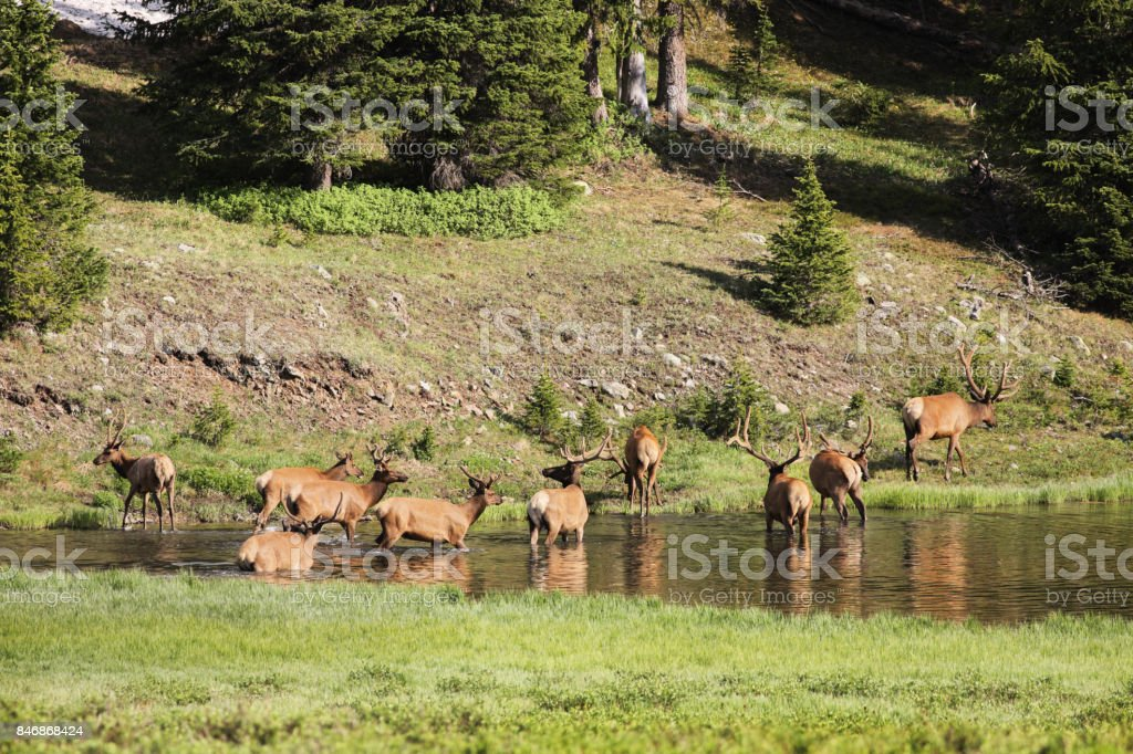 Ten Velvet Antler Bull Elk Wading stock photo