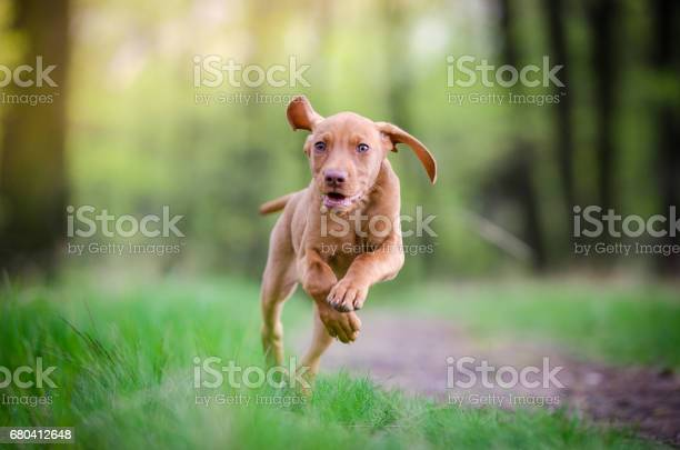 Ten week old puppy of vizsla dog running in the forrest in spring picture id680412648?b=1&k=6&m=680412648&s=612x612&h=nj iam8n5 oyaq7ulhvno4gaaa3mad8vfpmp50i0j9o=