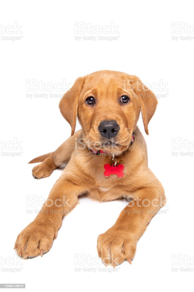 Ten Week Old Red Fox Labrador Puppy Stock Photo Download Image Now Istock