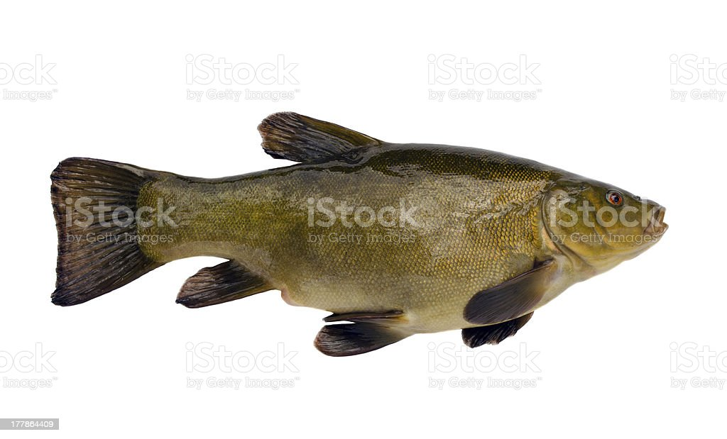 Tench fish after fishing isolated on white stock photo