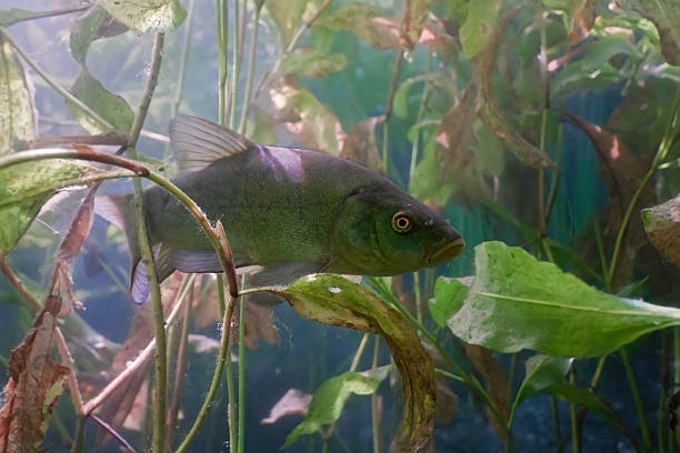 Tench in the lake stock photo