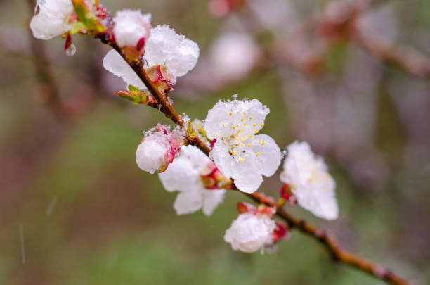 Tender apricot blossom flowers covered with sudden April snow cyclone in Ukraine, shallow depth of field, selective focus stock photo