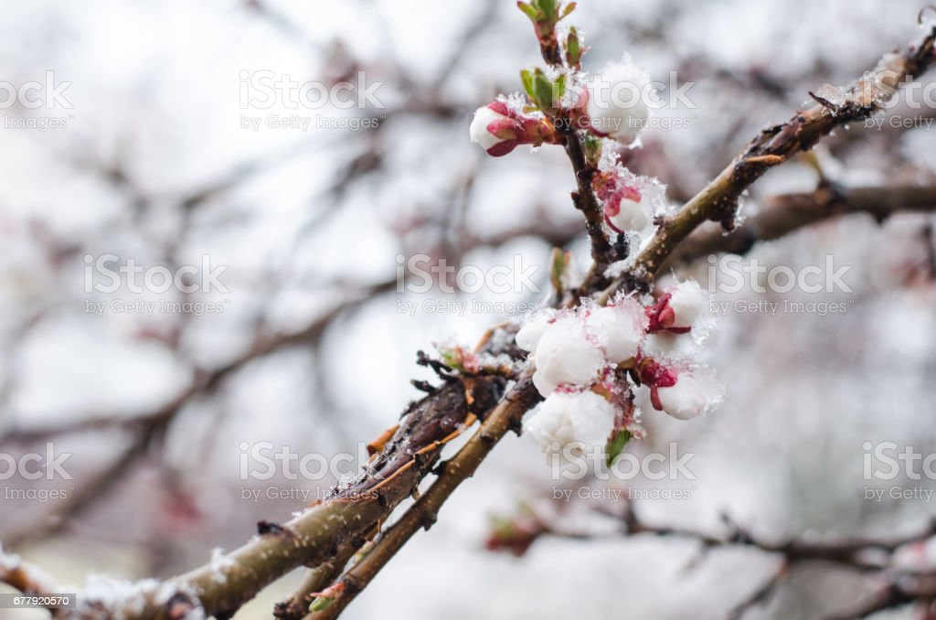 Tender apricot blossom flowers covered with sudden April snow cyclone in Ukraine, shallow depth of field, selective focus royalty-free stock photo