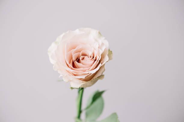 zart blühenden pastell rosa einzelne rose auf dem grauen hintergrund, nahaufnahme - hipster braut stock-fotos und bilder