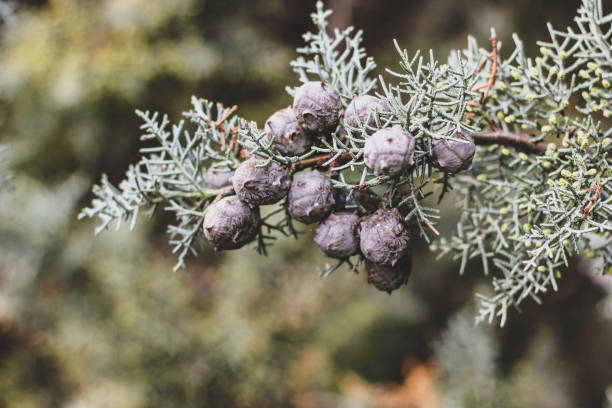 tender christmas background of cypress with cones - cypress tree stock photos and pictures