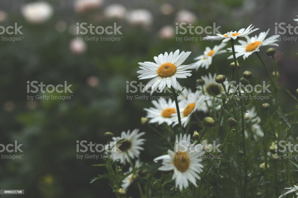 Tender daisies in the summertime royalty-free stock photo