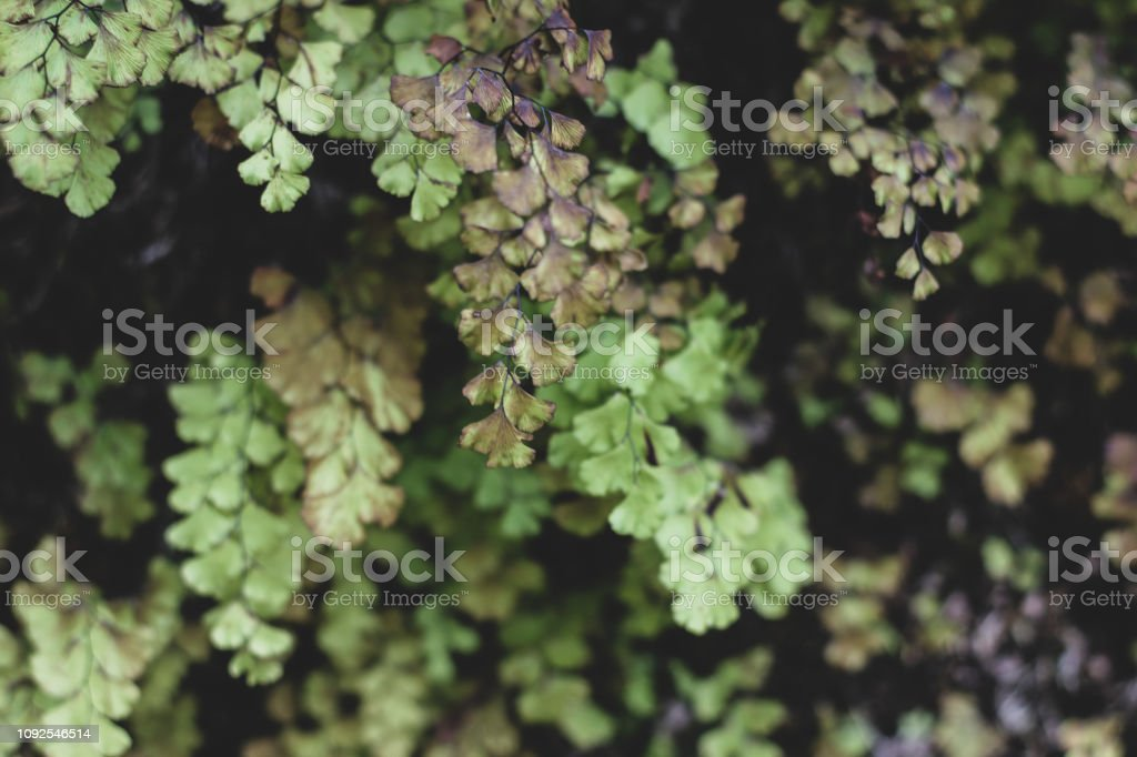Tender dark and light green ginko leaves royalty-free stock photo