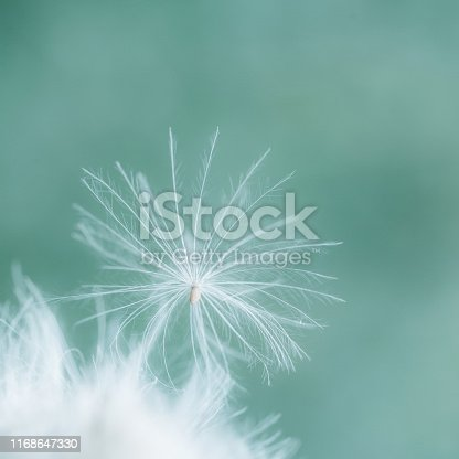 A fuzz seed with white hairs on green and turquoise background