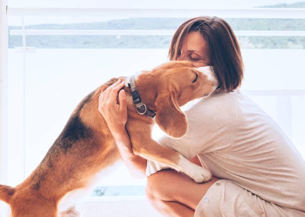tendre scène maison avec le propriétaire de la femme et son chien beagle - femme seule s'enlacer photos et images de collection