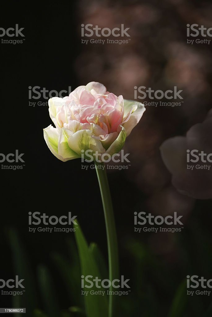 Tender pink tulip royalty-free stock photo